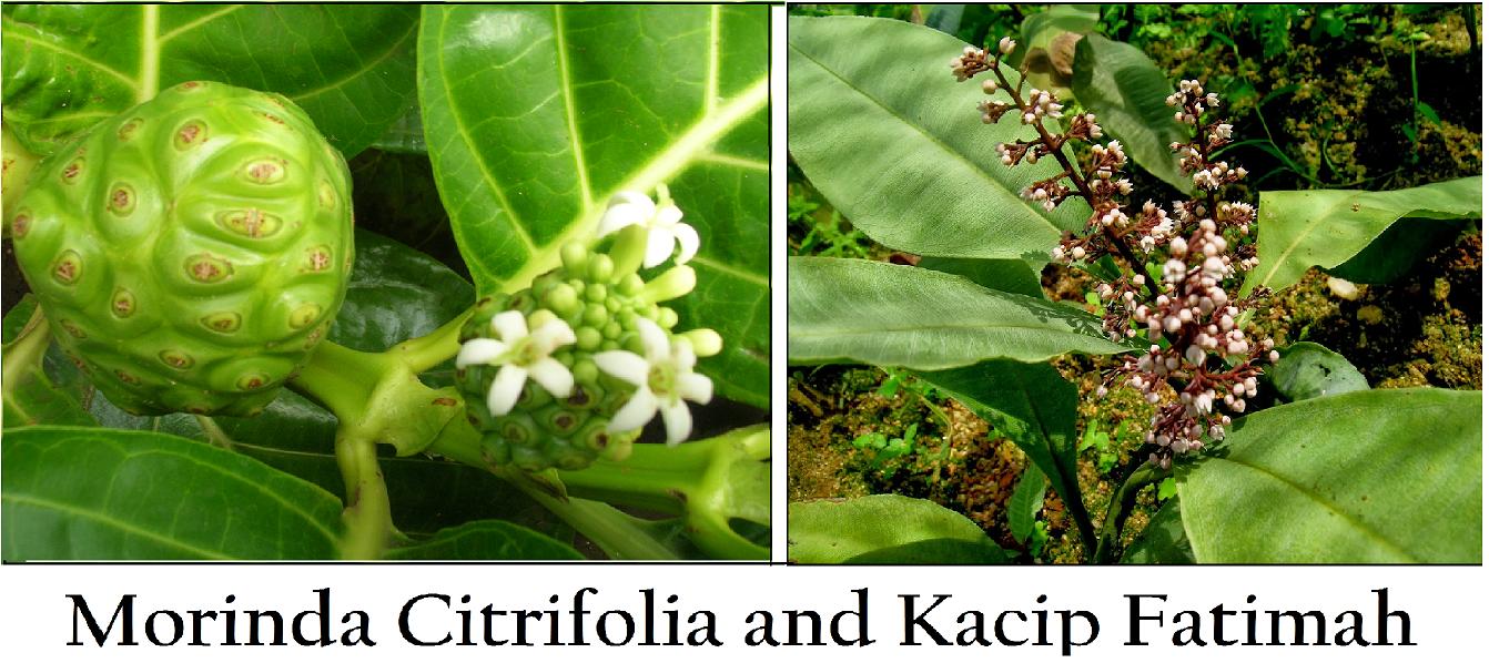 Morinda Citrifolia and Kacip Fatimah