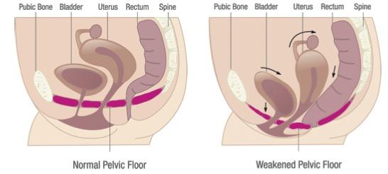 pelvic muscles