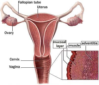 vagina layers