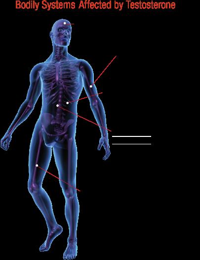 Testosterone-Body-Systems
